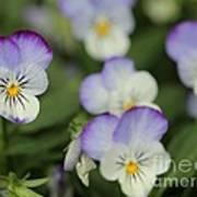 Viola Named Sorbet Lemon Blueberry Swirl Print by J McCombie