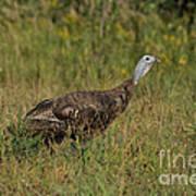 Eastern Wild Turkey Print by Linda Freshwaters Arndt