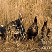Eastern Wild Turkeys Print by Linda Freshwaters Arndt