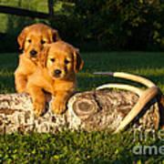 Golden Retriever Puppies Print by Linda Freshwaters Arndt