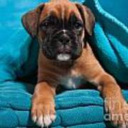 little Boxer dog puppy Print by Doreen Zorn