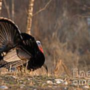 Male Eastern Wild Turkey Print by Linda Freshwaters Arndt