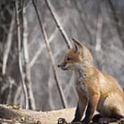 A Cute Kit Fox Portrait 2 Print by Thomas Young