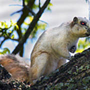 A Fox Squirrel Pauses Print by Betsy Knapp