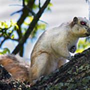 A Fox Squirrel Poses Print by Betsy C Knapp