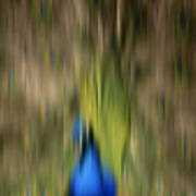 Abstract Moving Peacock  Print by Georgeta Blanaru