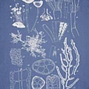 Acetabularia Caraibica And Chondria Intricata Print by Aged Pixel