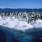 Adelie Penguins On Icefloe Antarctica Print by Colin Monteath