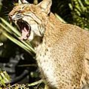 Adult Florida Bobcat Print by Anne Rodkin