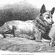 Alaskan Husky Print by Granger