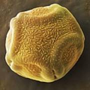 Alder Tree Pollen Grain, Sem Print by Power And Syred