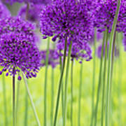 Allium Hollandicum Purple Sensation Flowers Print by Tim Gainey