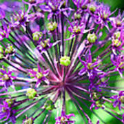 Allium Series - Close Up Print by Moon Stumpp