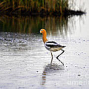 American Avocet Print by Al Powell Photography USA