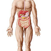 Anatomy Of Human Digestive System, Male Print by Stocktrek Images