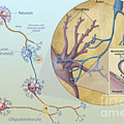 Anatomy Of Neurons Print by Carlyn Iverson