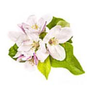 Apple Blossom Print by Elena Elisseeva