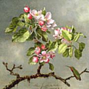Apple Blossoms And A Hummingbird Print by Martin Johnson Heade