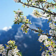 Apple Blossoms Frame The Rockies Print by Lisa Knechtel