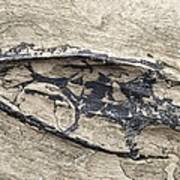 Aquatic Reptile Skull Print by Science Photo Library