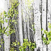 Aspen Grove Print by Elena Elisseeva