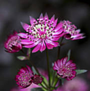 Astrantia Hadspen Blood Flower Print by Tim Gainey