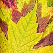 Autumn Maple Leaves Print by Adam Romanowicz