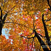 Autumn Maple Trees Print by Elena Elisseeva