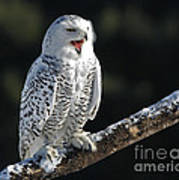 Awakened- Snowy Owl Laughing Print by Inspired Nature Photography Fine Art Photography