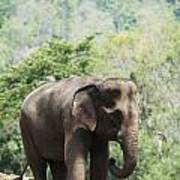 Baby Elephant Chiang Mai, Thailand Print by Stuart Corlett