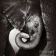 Baby Elephant Seeking Comfort Print by Johan Swanepoel