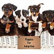 Basket Of Mixed Breed Puppies Print by Susan  Schmitz