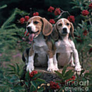 Beagles Print by Hans Reinhard