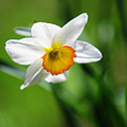 Beautiful Daffodil Print by Jenny Rainbow