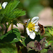 Bee Fly On White Flowers Print by Christina Rollo