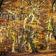 Beech Tree Group In Autumn Light Print by Martin Liebermann