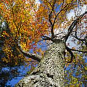 Big Orange Maple Tree Print by Christina Rollo