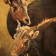 Bighorn Sheep Of The Arkansas River  Print by Priscilla Burgers
