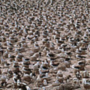 Black-browed Albatross Nesting Colony Print by Art Wolfe