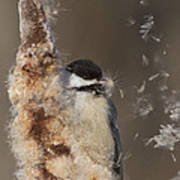Black-capped Chickadee In Winter Print by Mircea Costina Photography