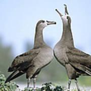 Black-footed Albatross Courtship Dance Print by Tui De Roy