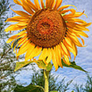 Blooming Sunflower V2 Print by Adrian Evans