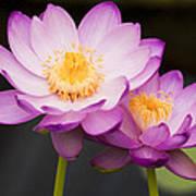 Blooming Violet  Print by Naushad  Waheed