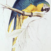 Blue And Yellow Macaw Print by Edward Lear