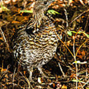 Blue Grouse Print by Robert Bales