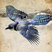 Blue Jay In Flight Print by Ray Downing