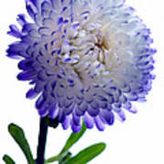 Blue Tipped Aster Print by Terence Davis