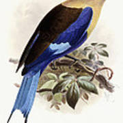 Bluebellied Roller Print by Johan Gerard Keulemans