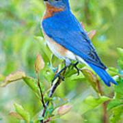 Bluebird Joy Print by William Jobes