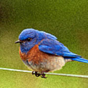 Bluebird  Painting Print by Jean Noren